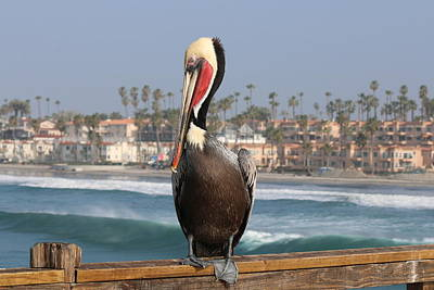 Photograph - Oceanside Pelican  by Christy Pooschke