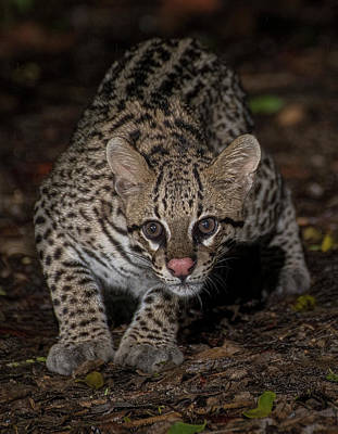 Photograph - Ocelot #1 by Wade Aiken