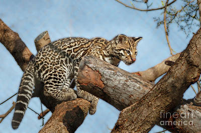 Photograph - Ocelot Cub by Richard Smith