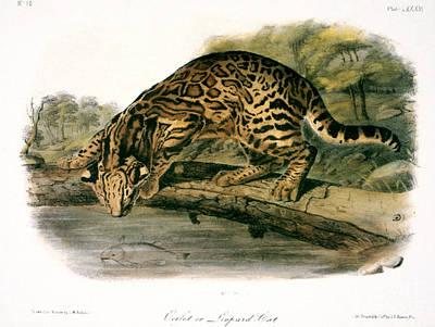 Animals Drawings - Ocelot - Felis Pardalis by John James Audubon
