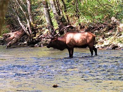 Photograph - Oconaluftee Elk by Joshua Bales