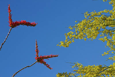 Photograph - Ocotillo And Palo Verde Blooms Waving In The Wind by James BO  Insogna