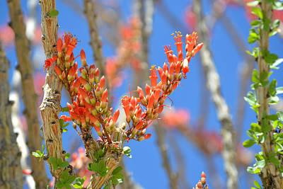 Photograph - Ocotillo Bloom by rd Erickson