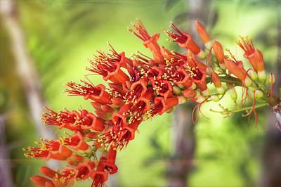 Photograph - Ocotillo Blossoms  by Saija Lehtonen
