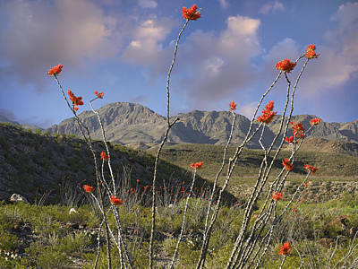 Photograph - Ocotillo Fouquieria Splendens, Big Bend by Tim Fitzharris