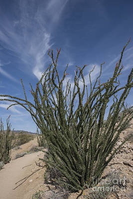 Photograph - Ocotillo by Juli Scalzi