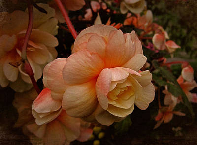 Photograph - Vintage Begonia No. 2 by Richard Cummings