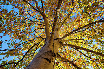 Photograph - October Birch by Mircea Costina Photography