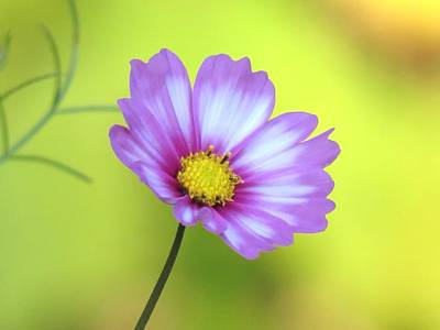 Photograph - October Cosmos by MTBobbins Photography