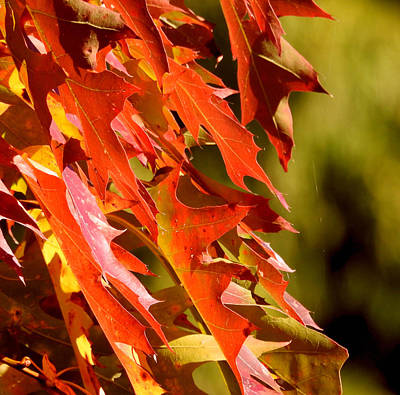 Photograph - October Oak Leaves by Brian Chase