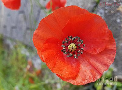 Photograph - October Poppy by Felicia Tica