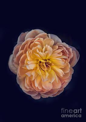 Photograph - October Rose by Robert Bales