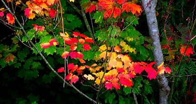 Photograph - October Vine Maple by Karen Molenaar Terrell