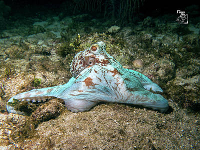 Photograph - Octopus by Mau Riquelme