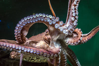 Photograph - Octopus by William Bitman