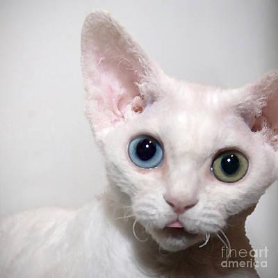 Devon Rex Cat Painting - Odd Eyed Devon Rex Kitten by Glennis Siverson