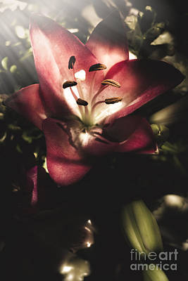 Oriental Lily Photograph - Of Love And Light by Jorgo Photography - Wall Art Gallery
