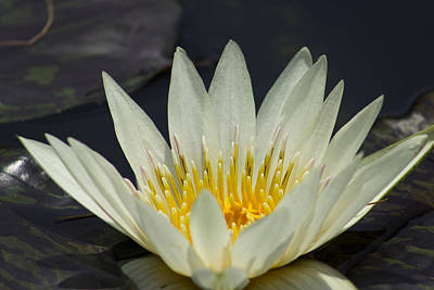 Off-white Water Lily Original