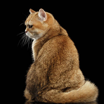 Cat Photograph - offended British cat Golden color by Sergey Taran