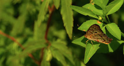 Photograph - Offset Image Of A Brown Butterfly by Vincent Billotto