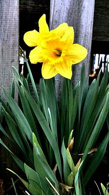 Photograph - Oh Daffodil by Kevin D Davis