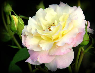 Photograph - Oh Lovely Rose by Rosanne Jordan