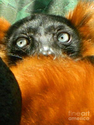 Red-ruffed Lemur Photograph - Oh My What Big Eyes You Have by Emmy Vickers