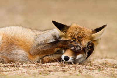 Canid Photograph - Oh No, You Didn't - Funny Fox by Roeselien Raimond