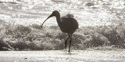 Ibis Wall Art - Photograph - Oh Splash Me Cortez Beach by Betsy Knapp