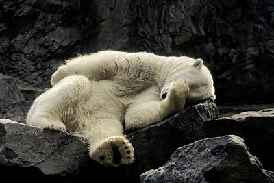 Photograph - Oh What A Night Polar Bear by Michael Hubley