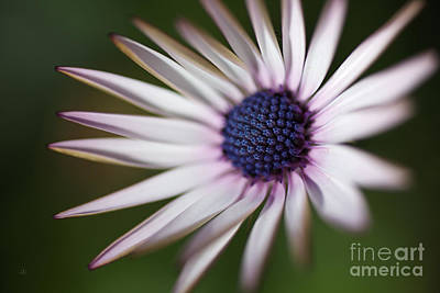 Photograph - Oh Winters Daisy by Joy Watson