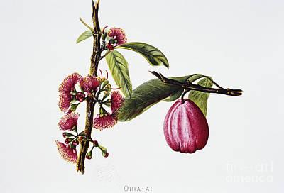 Ohiaai Art Print by Hawaiian Legacy Archive - Printscapes