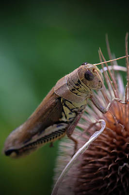 Photograph - Ohio Grasshopper 2 by Patrick Groleau