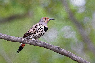 Photograph - Oil Painted Northern Flicker by Celine Pollard