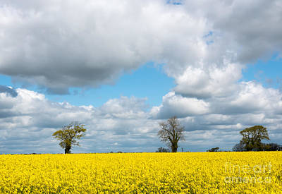 Photograph - Oil Seed Rape Field by Colin Rayner