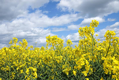 Photograph - Oilseed Rape by Mark Severn