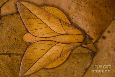 Photograph - Oiticella Convergens Moth by Gabor Pozsgai
