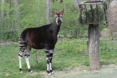 Photograph - Okapi #3 by Judy Whitton