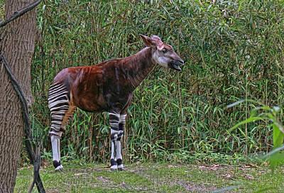 Photograph - Okapi by Allen Beatty