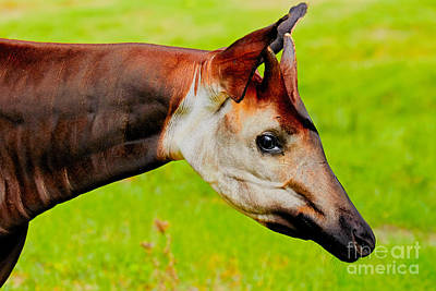 Photograph - Okapi Portrait by Nick  Biemans
