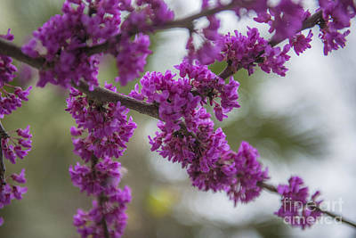 Photograph - Oklahoma Red Bud Blooming by Dale Powell