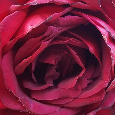 Photograph - Oklahoma Rose 2015 by Amy Jo Garner