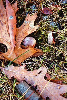 Photograph - Old Acorns And Leaves by Bernard Lynch