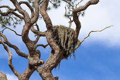 Photograph - Old Bald Eagle Nest by Richard Goldman