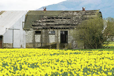Photograph - Old Barn And Daffodils by Tom Cochran