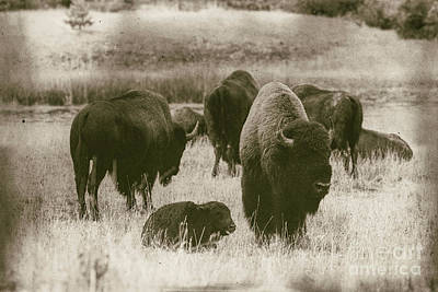On Trend At The Pool - Old Bison by Todd Bielby