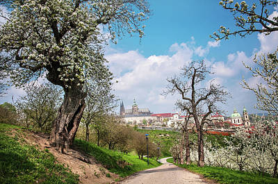 Photograph - Old Blossoming Pear Tree At Petrin Hill. Prague by Jenny Rainbow