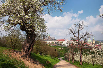 Photograph - Old Blossoming Pear Tree In  Prague Orchards  by Jenny Rainbow