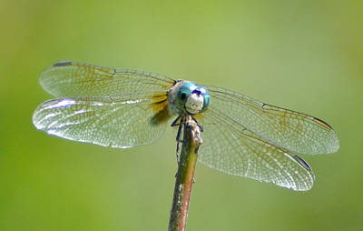 Old Blue Eyes - Blue Dragonfly Art Print by Bill Cannon