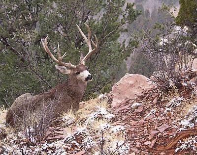 Mule Deer Buck Photograph - Old Buck by Ernie Echols